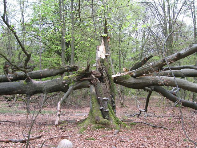Baum yinyang